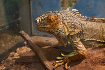 large lizard, iguana