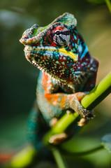 Photo sur Plexiglas Cameleon Wild chameleon in the jungle