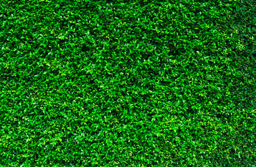 Natural green leaves background. Nature wallpaper. Eco wall. Summer background. Green leaves texture. Bush or shrub trimming. Backdrop for organic cosmetic product. Green garden hedge pattern.