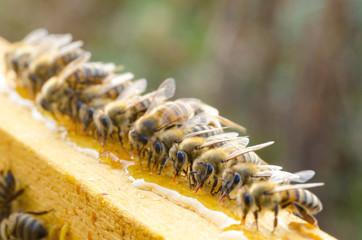 Printed kitchen splashbacks Bee Bees eating honey