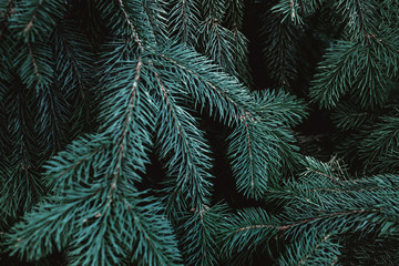 Christmas fir tree branches Background. Christmas pine tree wallpaper. Copy space..