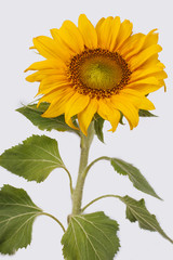 Sunflower isolated on white background. Close up. Cut out.