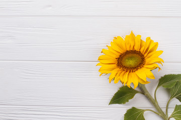 Sunflower on white wood background. Copyspace, free space for text.
