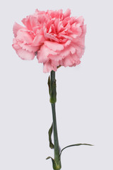One single pink carnation flowers. Close up. Isolated on white.