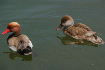 Lake Chiemsee, Kolbenenten, Paar, Piston duck