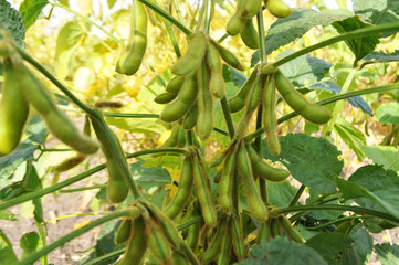 Soybeans in the natural environment in the field