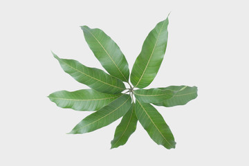 Green leaves of mango isolated on gray background, clipping path.