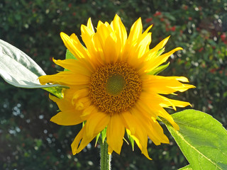 close up of a large bright yellow sunflower in bright sunlight against a dark green background