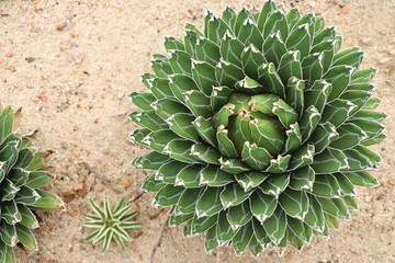 Queen Victoria Century Plant/Royal Agave decorate in the garden desert plant beautiful shape and green leaves background