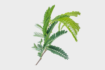 Tamarind leaves isolated on gray background with clipping path..
