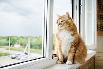 red with white long-haired fat cat sitting on the windowsill Wall mural