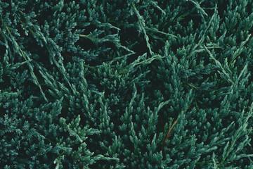 full frame shot of green fir branches for background