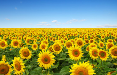 Fotomurales - sunflowers field on sky
