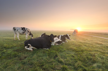 cows relaxed on pasture at sunrise