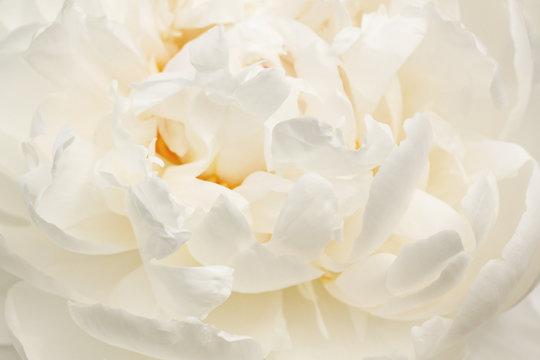 close up of white peony flower