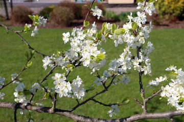Apple tree blossom. Spring