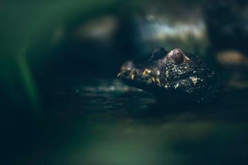 Close portrait of dwarf caiman in river.