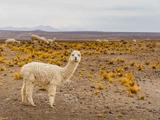 Pérou Alpaga Lama Vigogne Animal sauvage Amérique du Sud nature Paysage
