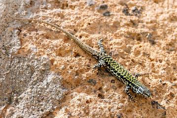 Green Ruin Lizard near Orvieto, Italy
