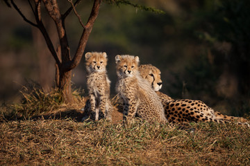 Baby Cheetahs with mom