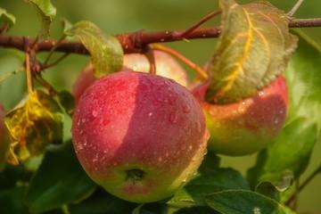 Crop of green apples on an apple tree; summer, sun light.