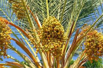Almost ripe yellow dates on a date palm. A lot of tasty and ripe dates. Fruits on the date palm.
