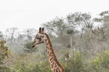 Safari theme, African Giraffe in natural habitat, Angola
