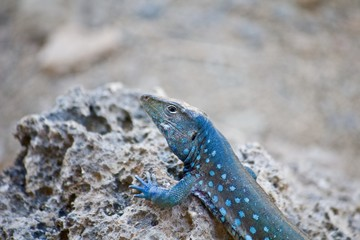 Male kododo blauw