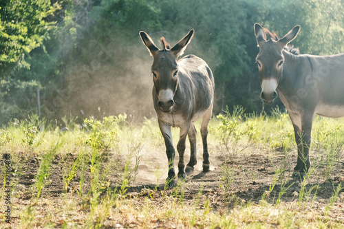 Two mini donkeys in dusty farm pasture during hot summer day