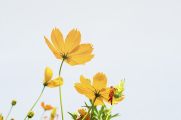 Yellow flowers against the sky background