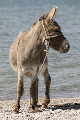 Young gray donkey trots along the shore of Song Kul lake in Kyrgyzstan