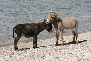 A gray and a black donkey make friends on the bank of Song Kul lake in Kyrgyzstan