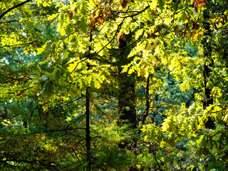 oak branch illuminated by sun and larch in forest