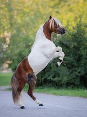 Fototapete - Full body portrait of skewbald Miniature Horse.