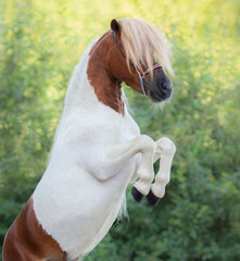 Fototapete - Skewbald American Miniature Horse with long forelock rearing.