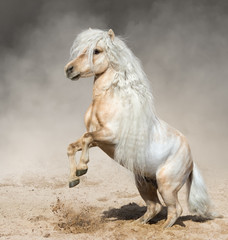 Fototapete - Palomino Miniature Horse with long mane rearing in dust.