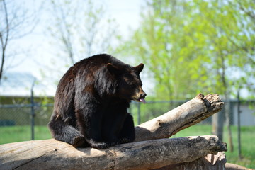 Black bear showing his tongue