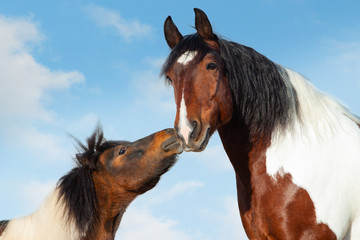Pinto Pony kisses big saddle horse