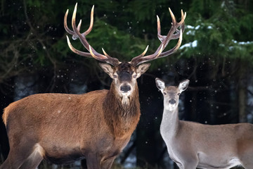 Wall Mural - Couple of noble deer in a snowy winter forest. Natural winter image.