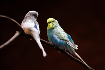 Portrait of  budgerigar (Melopsittacus undulatus) common parakeet or small seed-eating parrot