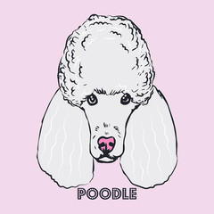 Poodle head isolated on pink background. Purebred white dog face hand drawn sketch.