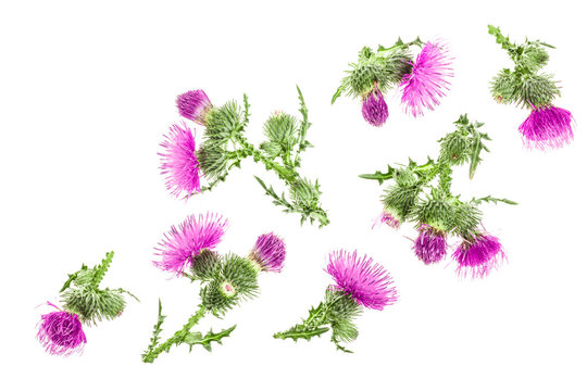 milk thistle flower isolated on white background with copy space for your text. Top view. Flat lay pattern