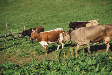 Herd of cows grazing on a slope in summer. Wall mural