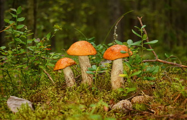 Three mushrooms of the boletus stand in the grass against the background of the green forest