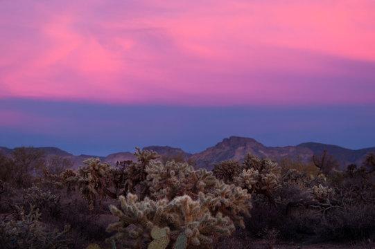 Teddy bear chola cacti glow in the twilight of sunset in the Arizona desert.