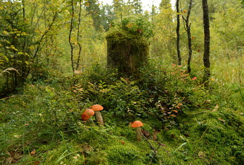 Three mushrooms stands in the grass next to an old stump in the forest