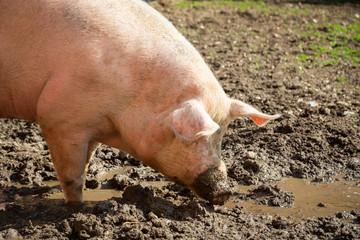 Schweinezucht - Glückliches Bio-Schwein auf dem Biohof