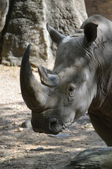 Up Close Look at the Face of a Rhinoceros