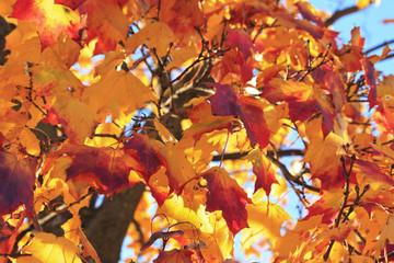 Maple in autumn colors.