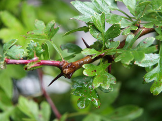 close up of hawthorn leaves wet with rain with details of spiked thorn on a blurred background